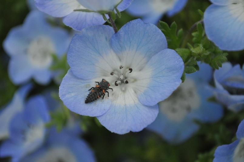花の上にナナホシテントウの幼虫