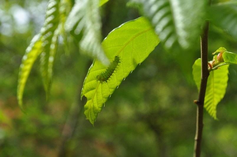 ウスタビガ幼虫