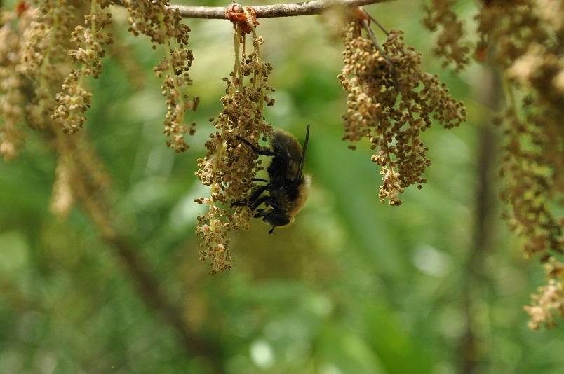 ハナアブがコナラの花粉を舐める
