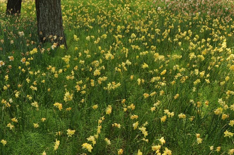 スイセンの花が残る