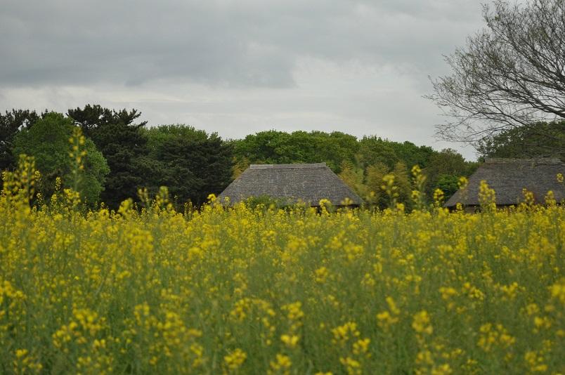 菜の花の向こうに藁ぶき屋根
