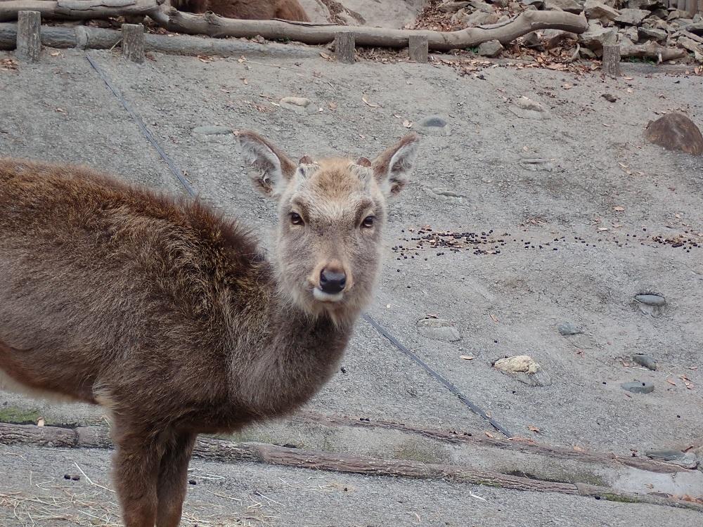 見つめる鹿