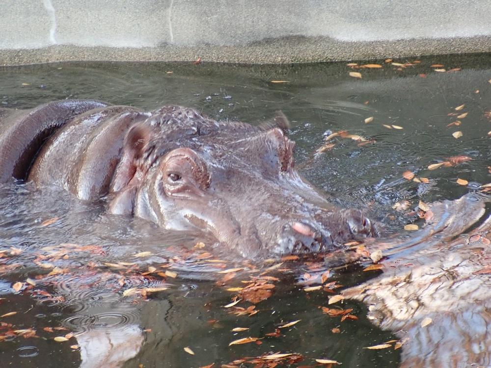 泳ぐカバさん