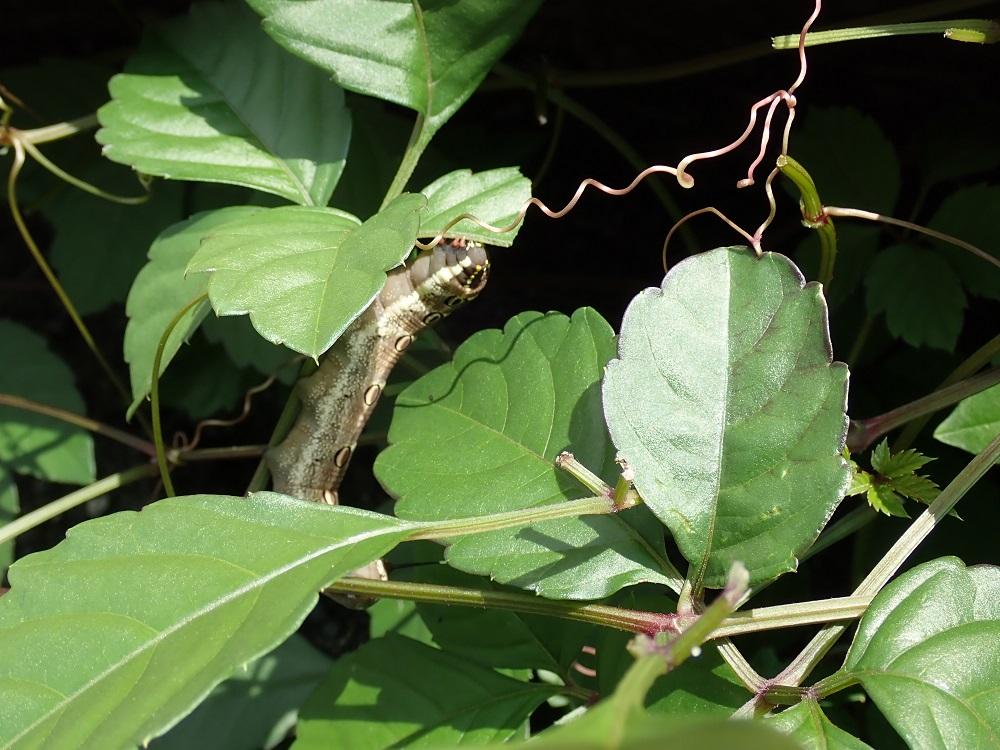 セスジスズメ幼虫