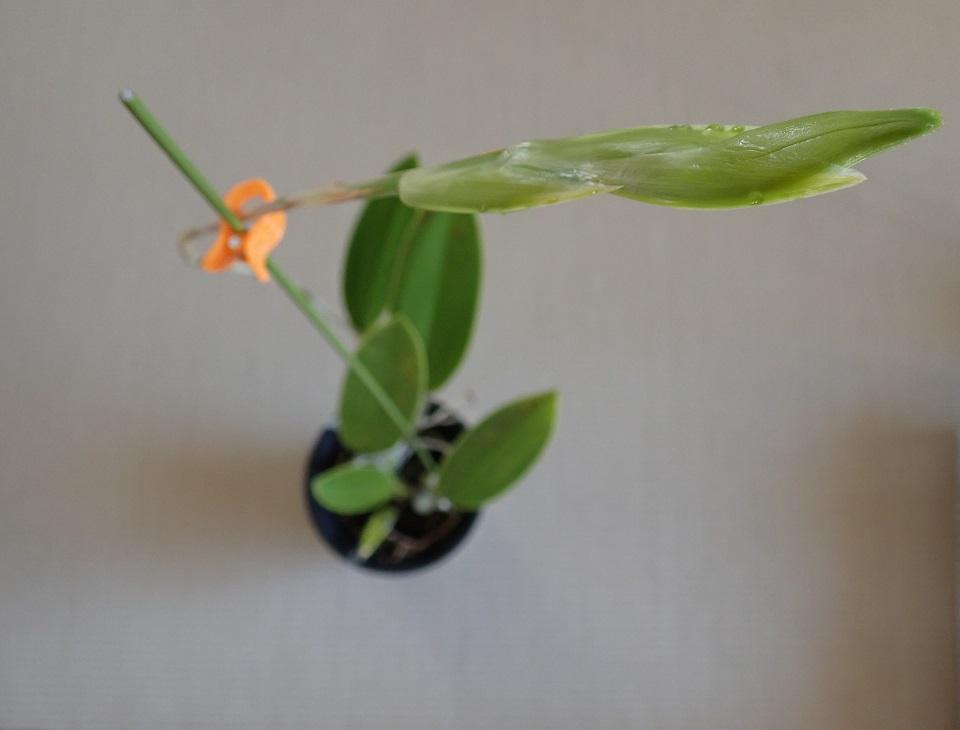 伸びに伸びた花茎
