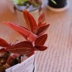 ルディシア・ディスカラー花茎