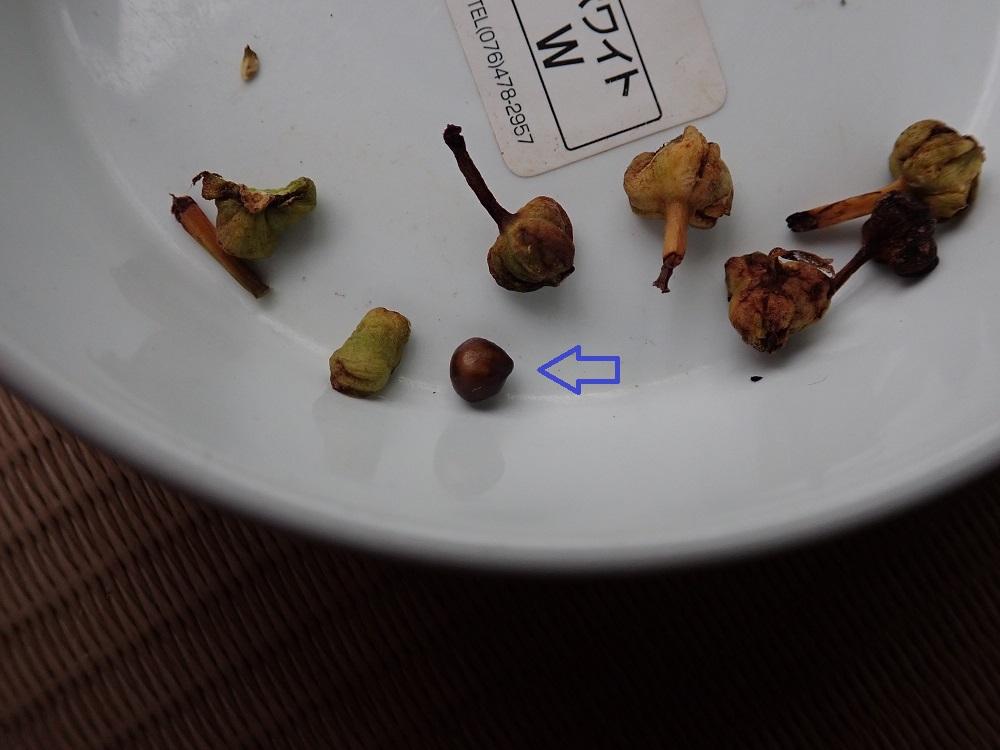 まともそうな種子は1粒のみ