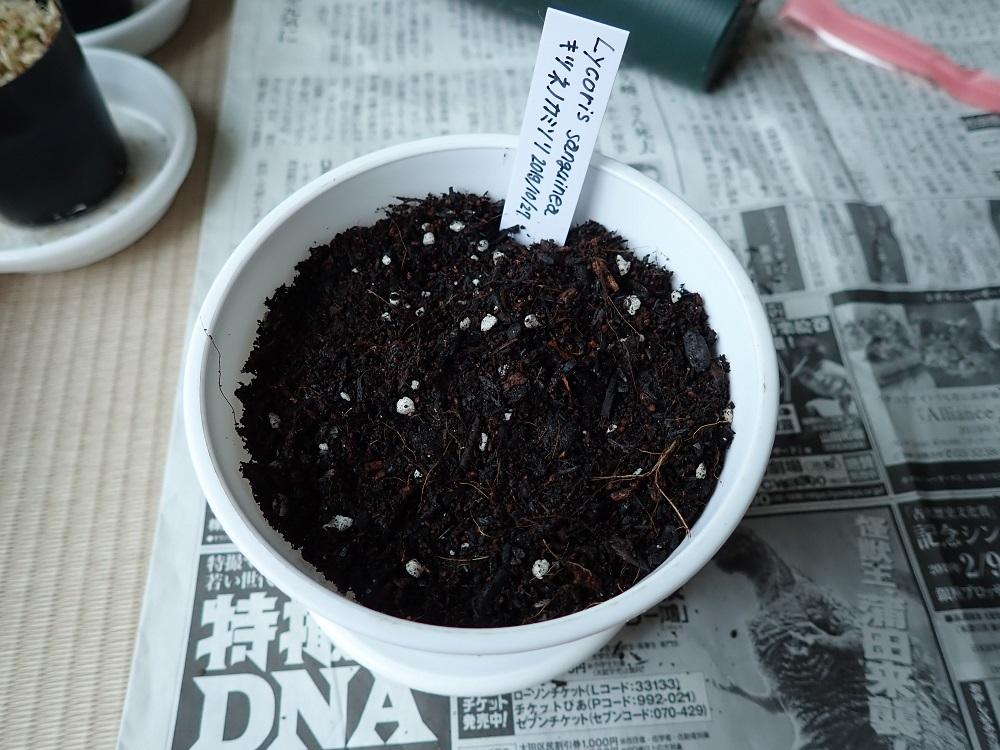 キツネノカミソリ播種