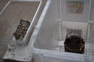 鈴虫(多分)最後のフン掃除-1