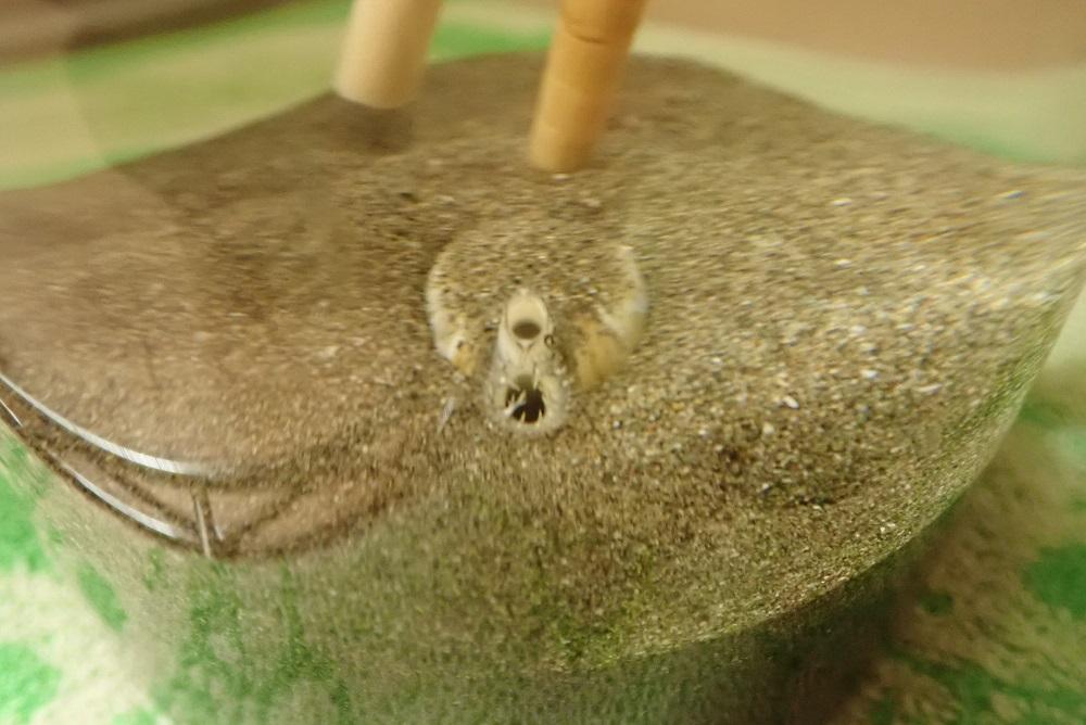 水管を拡げるハマグリ