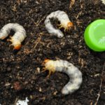 ミヤマ幼虫