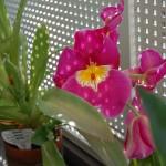 ミルトニオプシス開花1