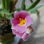 ミルトニオプシス(交配種)開花