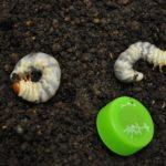 ノコギリ幼虫