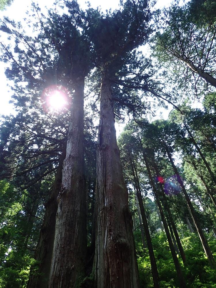勇壮なスギの木立