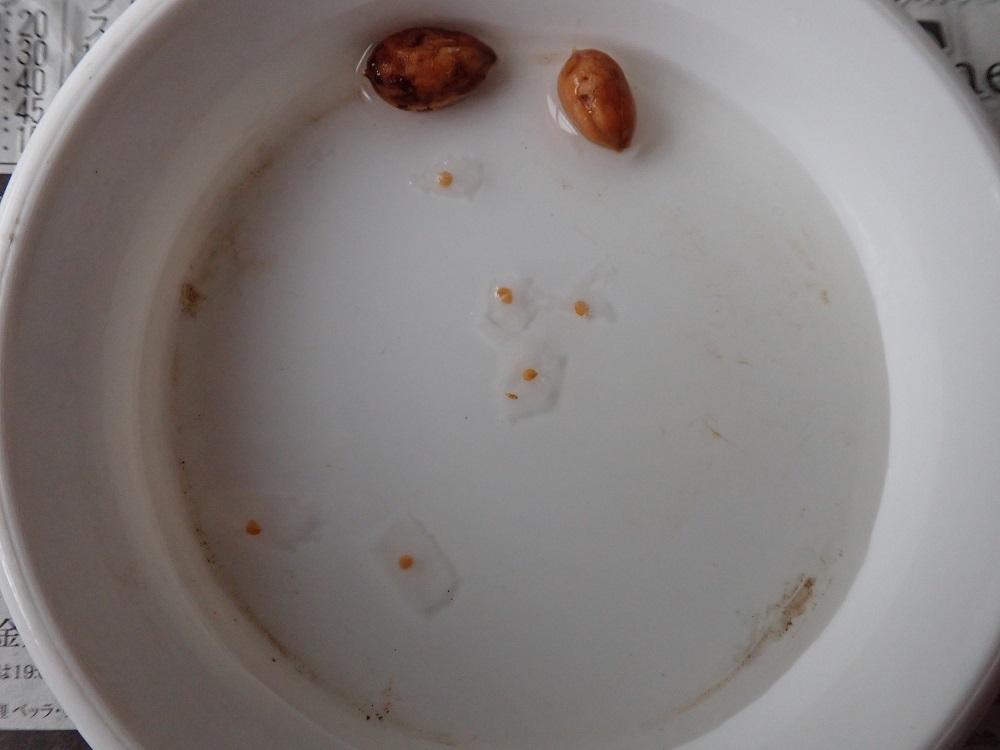 オリーブとイヌビワ種子