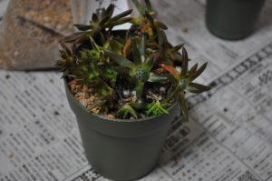 大き目の鉢に植えつけ