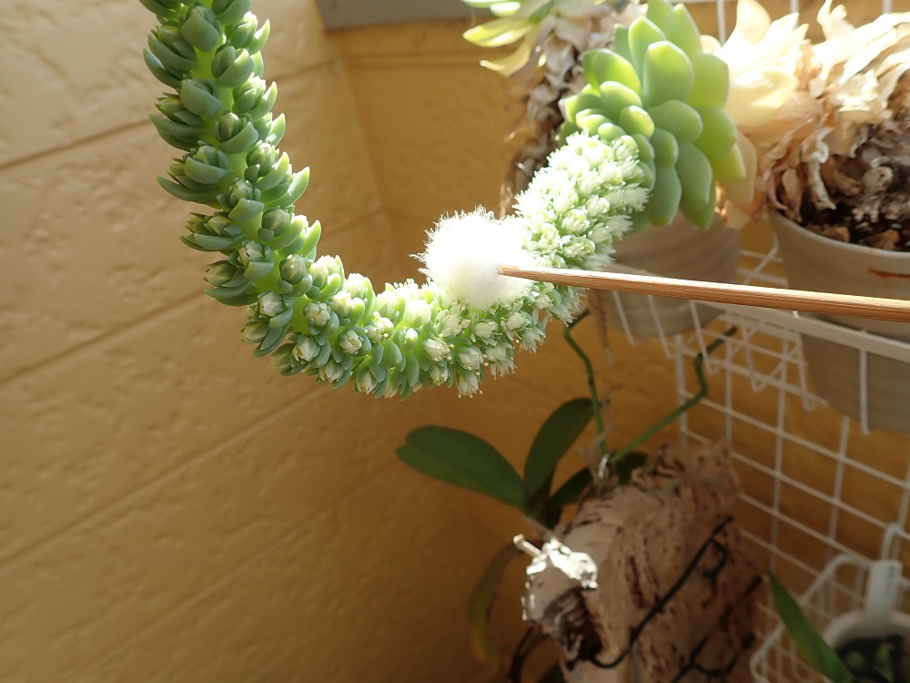 梵天で花粉のやりとり