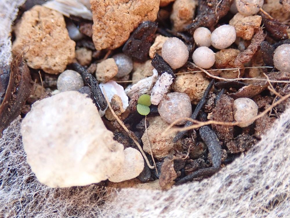 イワレンゲ発芽