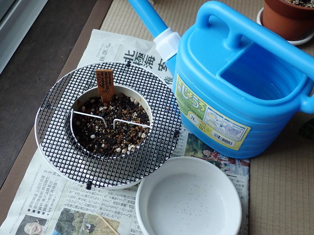イワレンゲの(A)の鉢に異変発生