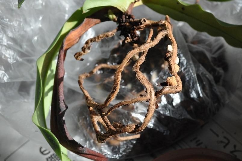 枯れた根を除いた後