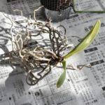 根を麻紐から外す