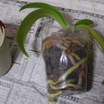 胡蝶蘭植え替え1