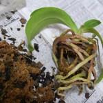 胡蝶蘭植え替え2