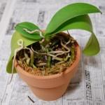 胡蝶蘭植え替え3