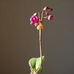 ミニ胡蝶蘭開花