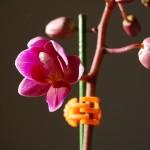ミニ胡蝶蘭花アップ