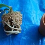 ミニ胡蝶蘭植え替え1