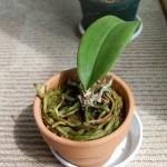 ミニ胡蝶蘭植え替え2