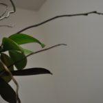 胡蝶蘭花茎