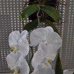 胡蝶蘭開花中