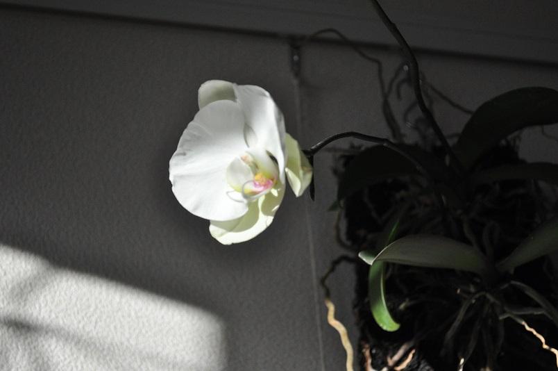 胡蝶蘭開花