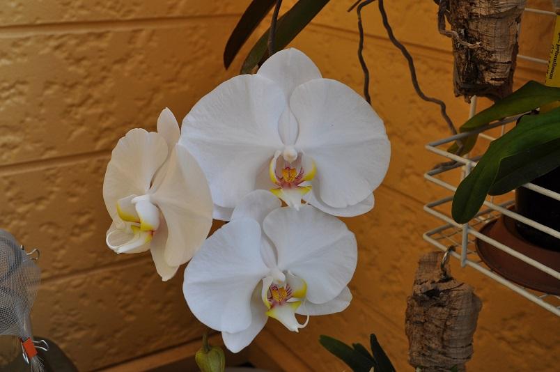 胡蝶蘭も開花