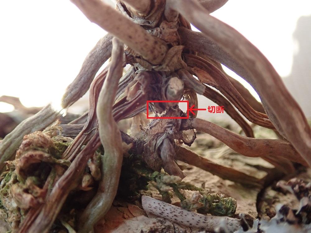 古い茎を切除
