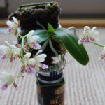 ナゴラン開花