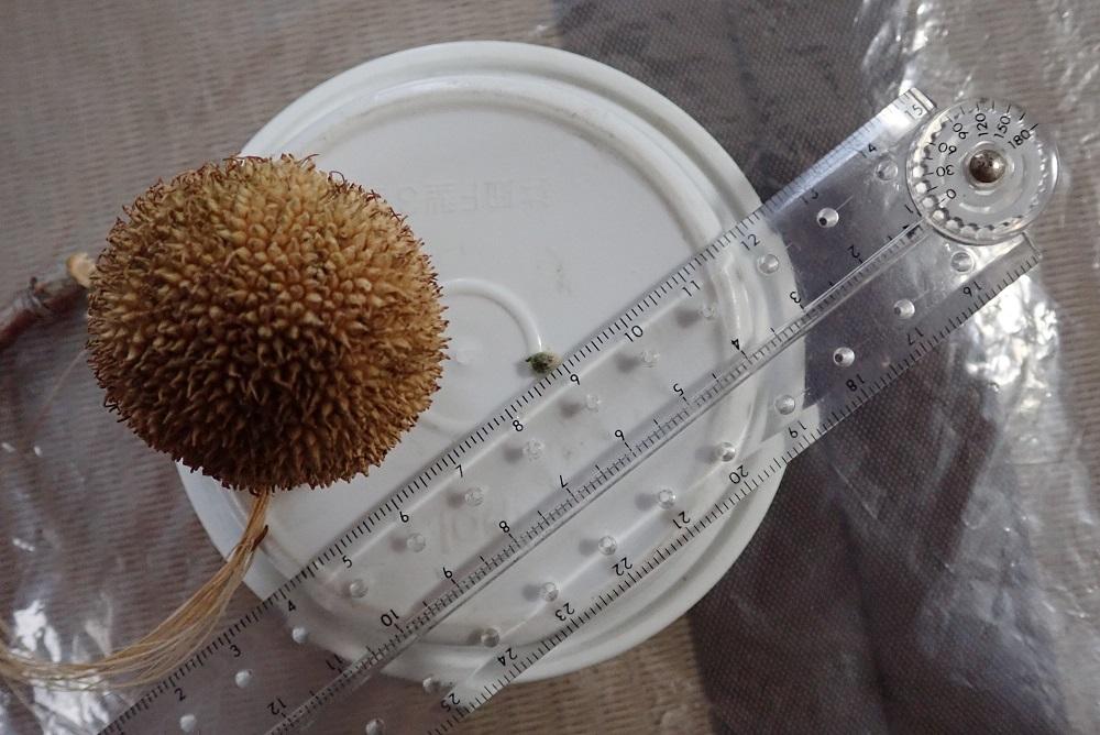 プラタナスの集合果と福寿草の実