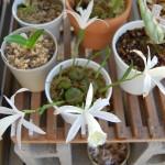 タイリントキソウ 花