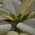 ミラ ホワイト開花