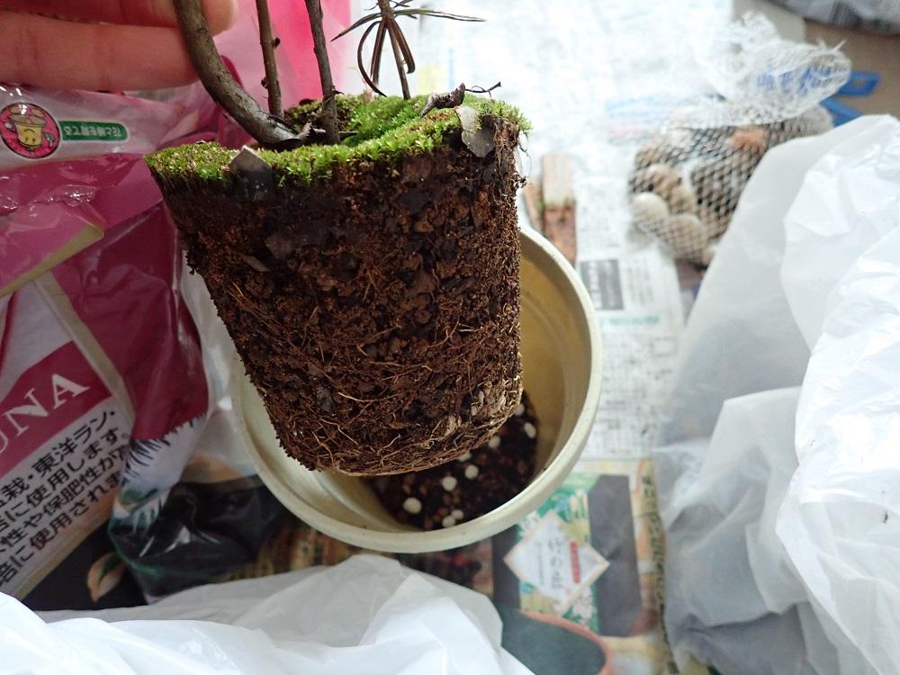 根鉢を確認