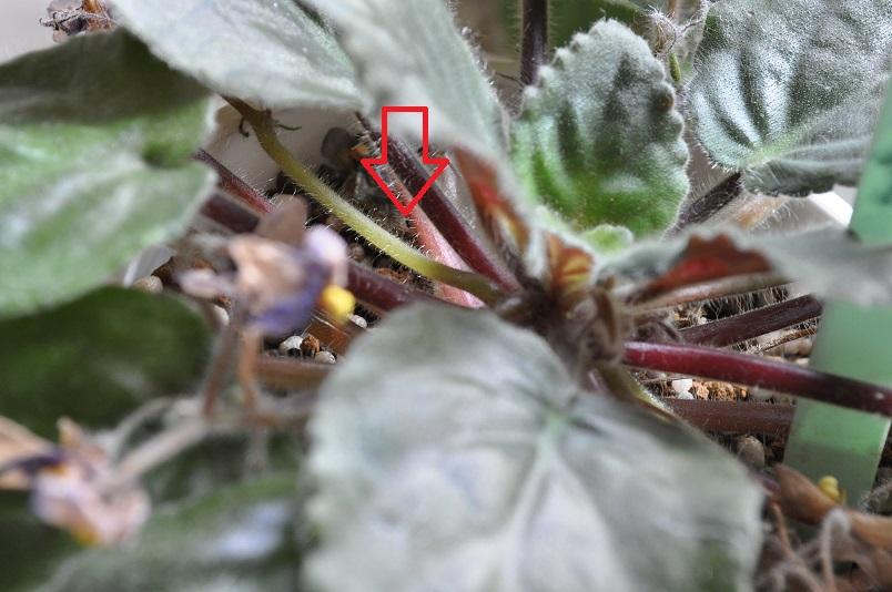 イオナンタの古い花茎