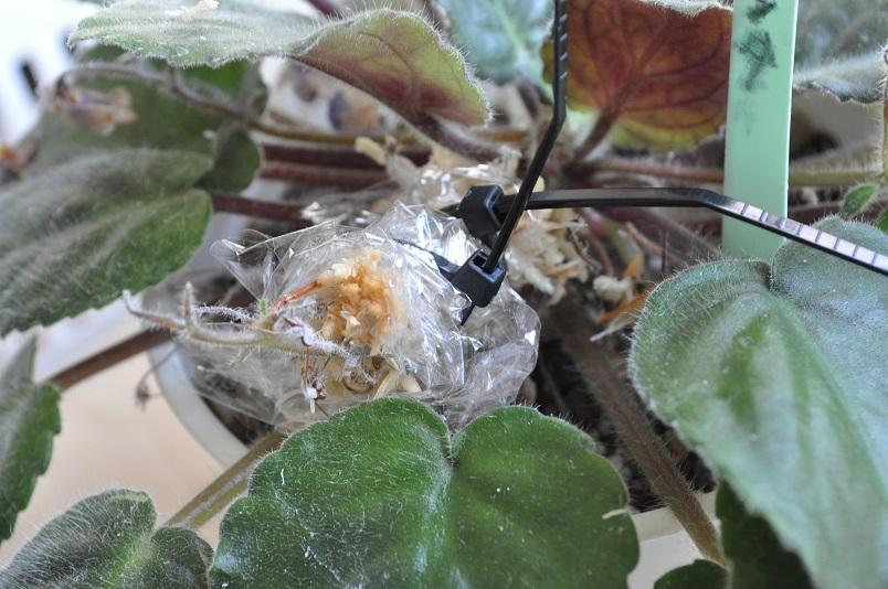 イオナンタ花茎にも水苔を巻く