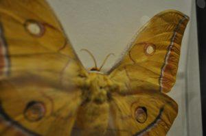 ヤママユ雌標本