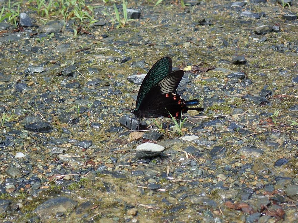 吸水するカラスアゲハ