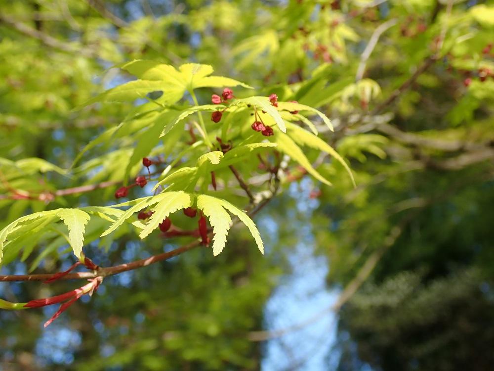 カエデ類の若葉と蕾