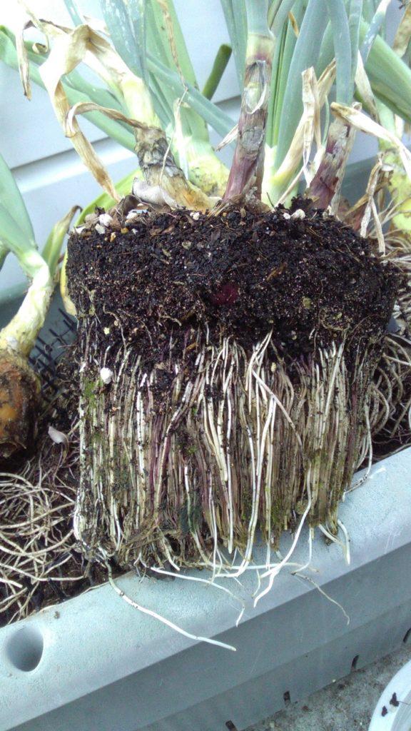 びっしり根鉢を形成