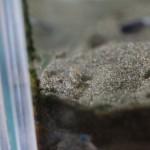 砂に潜ったナガラミ